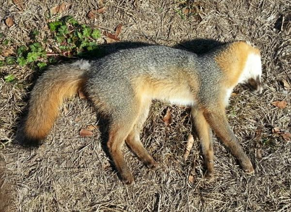photo: Gray Fox (Urocyon cinereoargenteus).