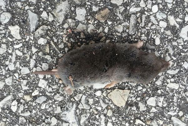 photo: Southern Short-tailed Shrew (Blarina carolinesis 1.