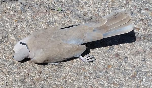 photo: Eurasian collared dove (Streptopelia decaocto).
