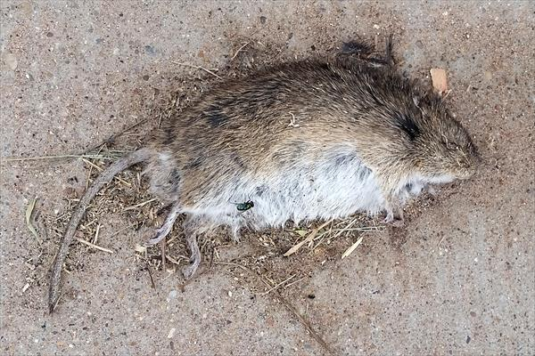 photo: Pocket Gopher (Geomys sp.).