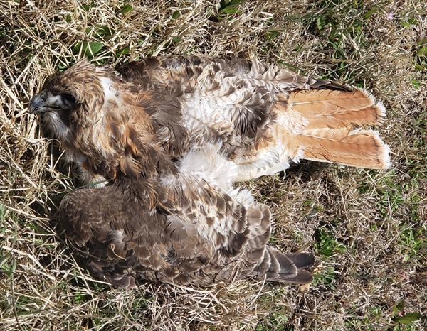 photo: Red-tailed Hawk (Buteo jamaicensis)