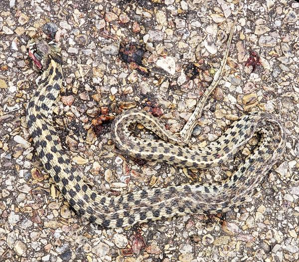 photo: Checkered Garter Snake (Thamnophis marcianus)